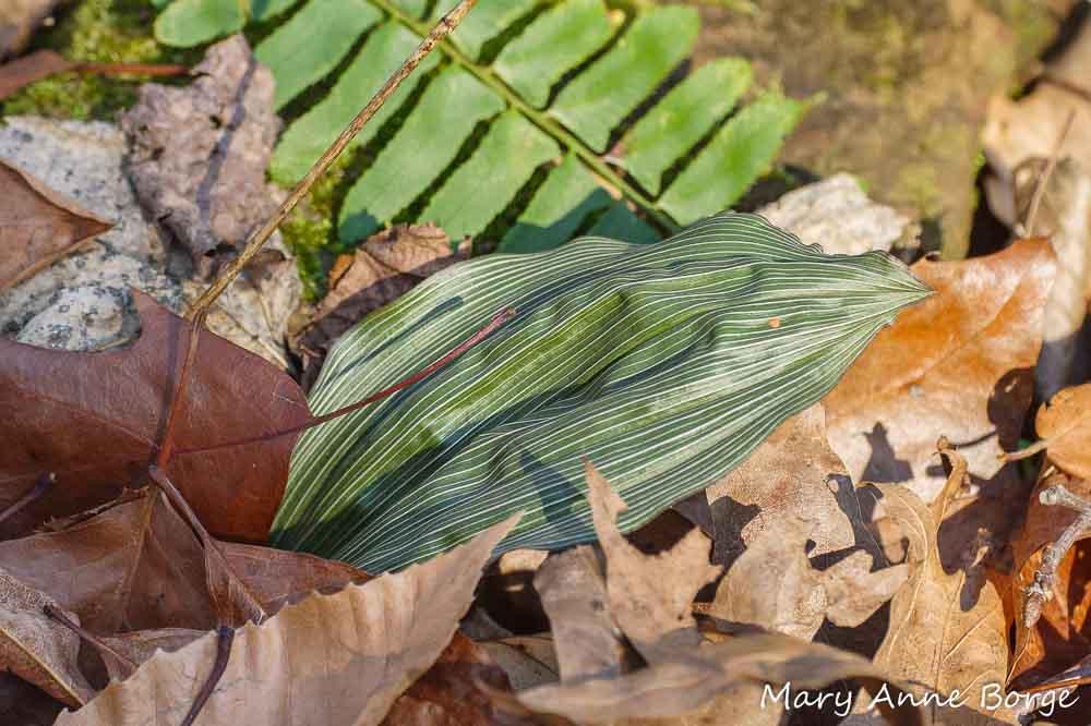 Puttyroot (Aplectrum hyemale) leaf