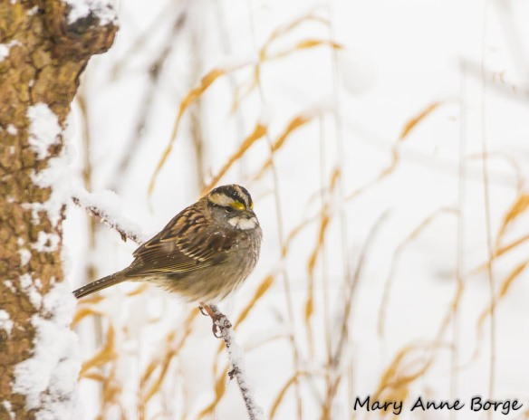 White-throated Sparrow with River Oats (Chasmanthium latifolium) in background