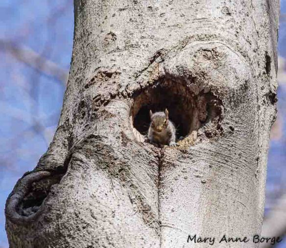 Gray Squirrel in cavity of American Beech