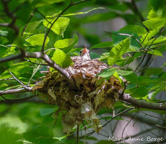 Wood Thrush on her nest in an American Beech. Some old Beech leaves have been used as nest material.