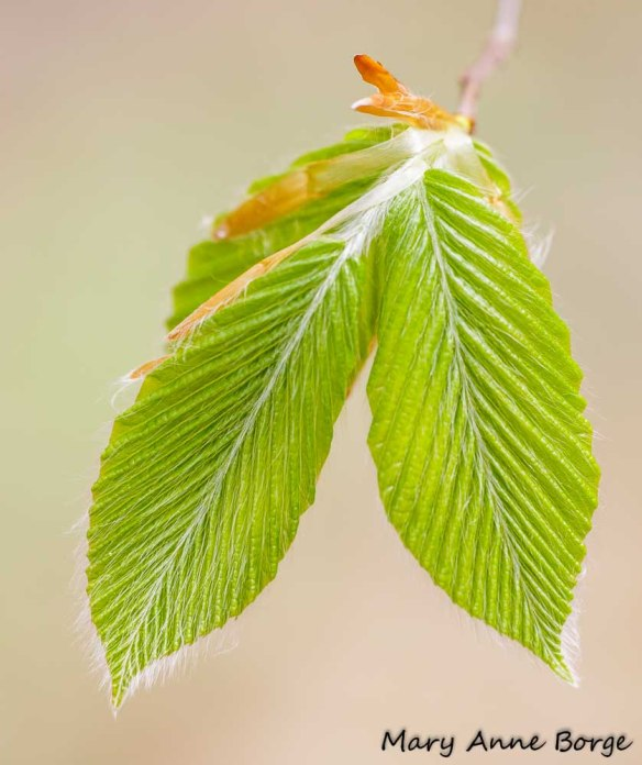 Newly unfurled leaves of American Beech (Fagus grandifolia)