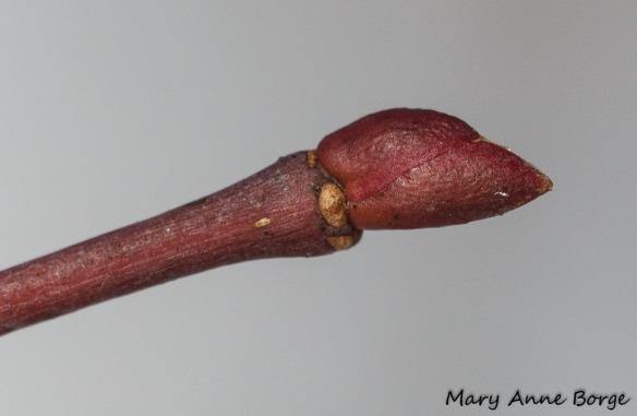 Basswood (Tilia americana) bud