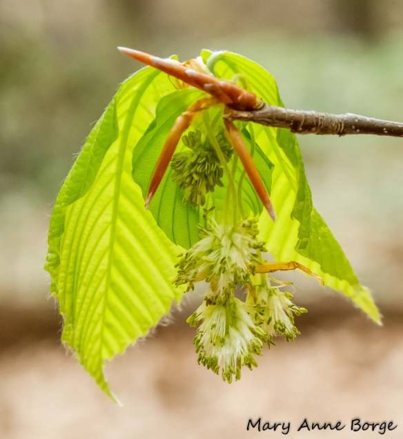 Male flowers of American Beech (Fagus grandifolia)