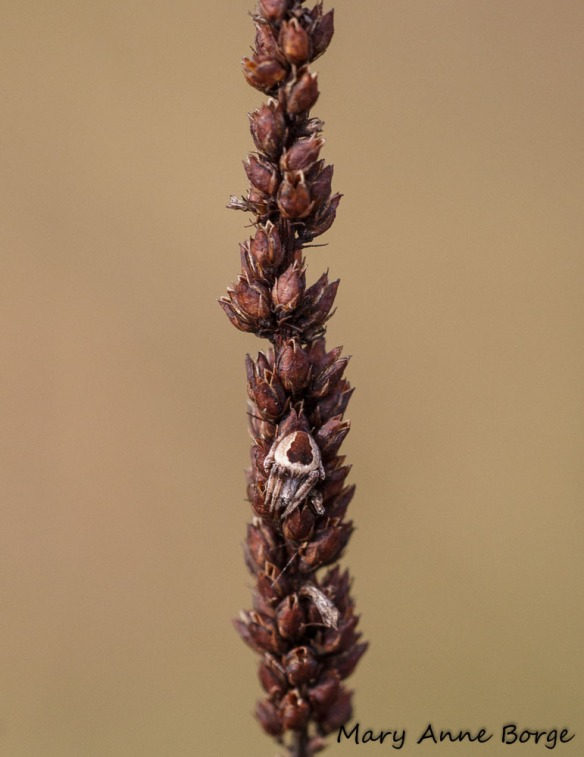 Well-camoflaged spider on Culver's Root (Veronicastrum virginicum), facing south to catch the sun's warmth