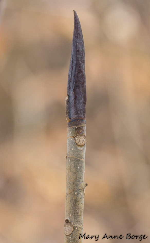 Umbrella Magnolia (Magnolia tripetala) bud and leaf scar
