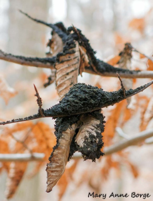 Beech Aphid Poop-eater (Scorias spongiosa)