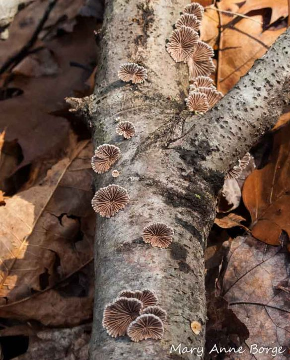 Common Split Gill mushrooms, commonly found on dead branches, help decompose the wood