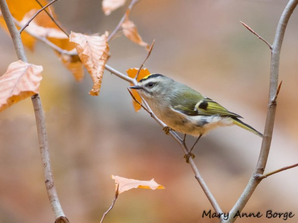 Golden-crowned Kinglet in American Beech