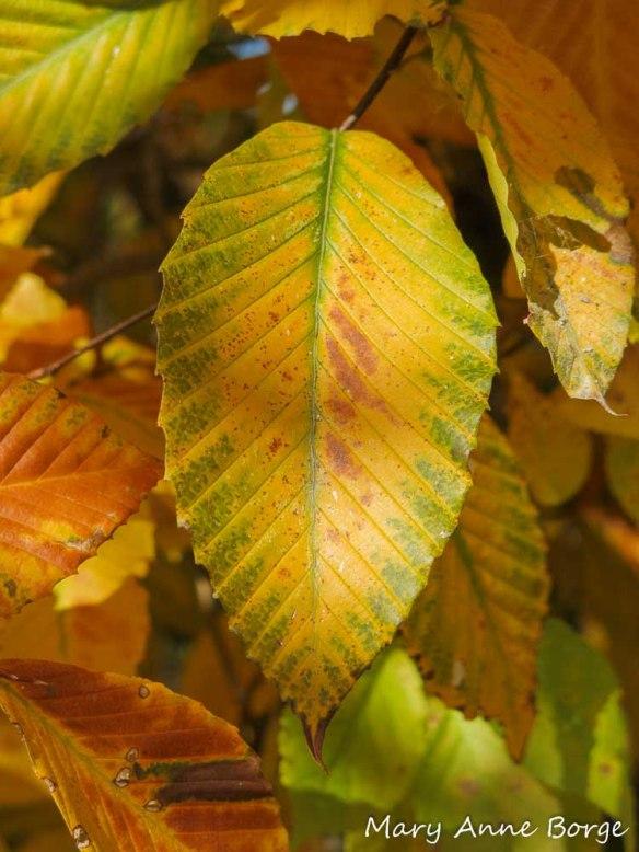 American Beech (Fagus grandifolia) leaf in fall