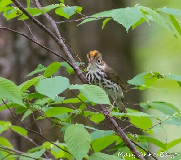 Ovenbird in American Beech