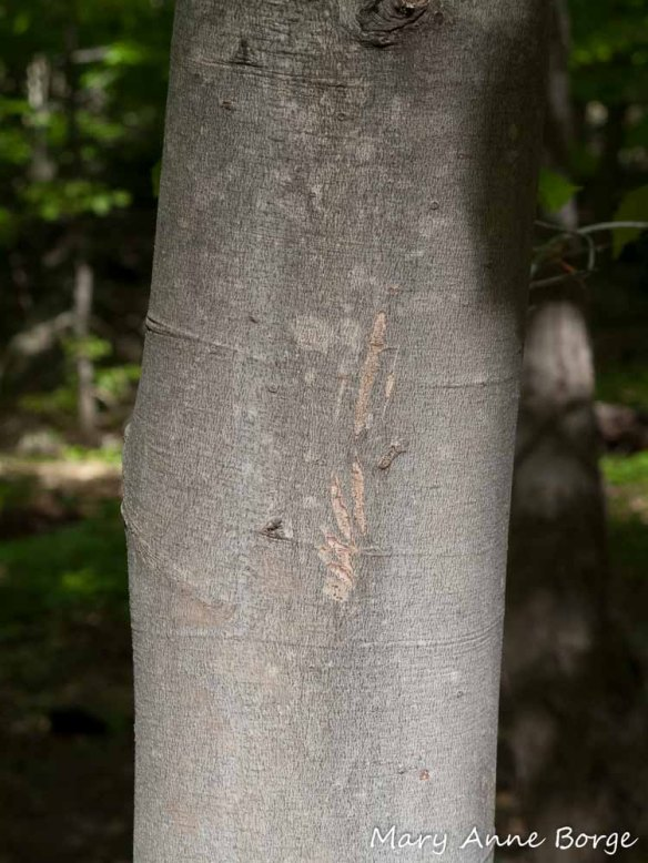 Animal 'tracks' on American Beech (Fagus grandifolia)