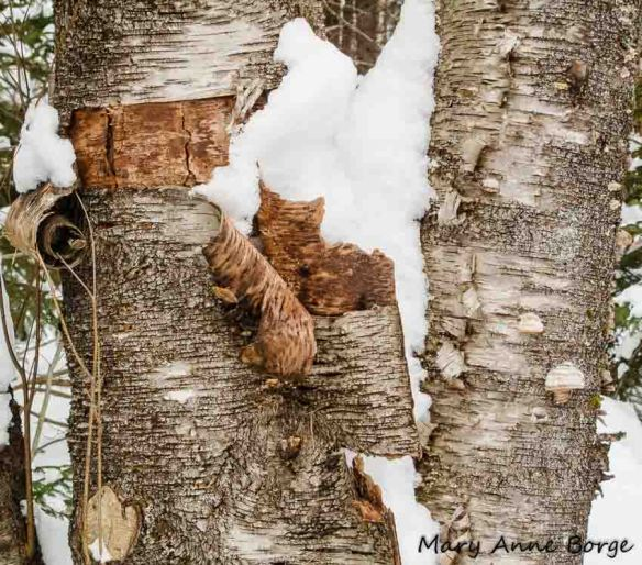 Pealing birch bark
