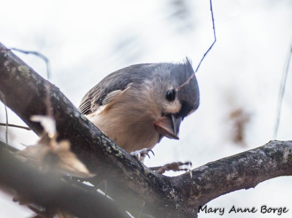Tufted Titmouse eating American Beech nut