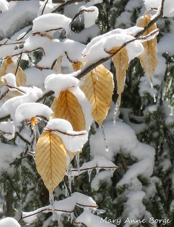American Beech (Fagus grandifolia), in March