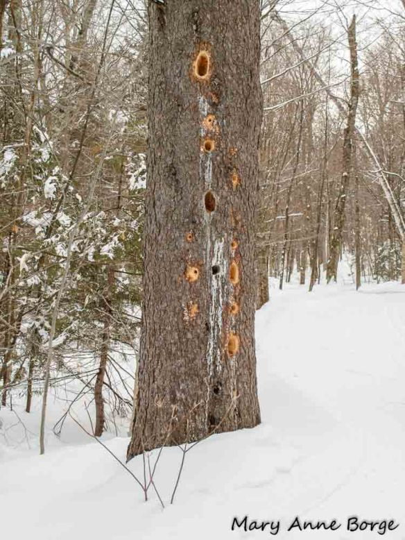 Holes excavated by Pileated Woodpecker
