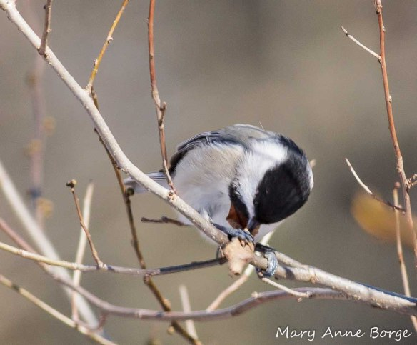 Carolina Chickadee searching for an insect in a leaf