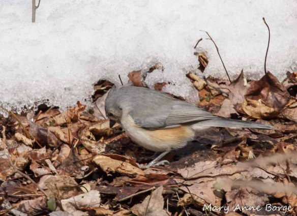 Tufted Titmouse searching for food