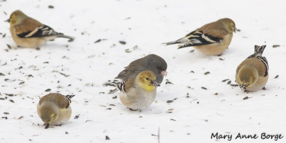 American Goldfinches with Dark-eyed Junco