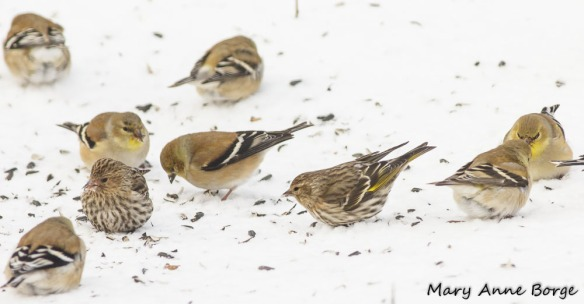Pine Siskins and American Goldfinches