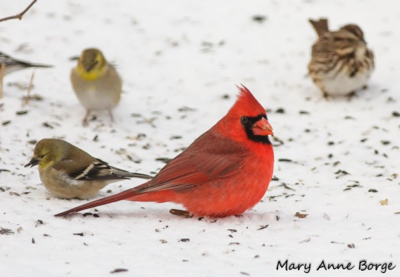 Male Northern Cardinal with American Goldfinches and Song Sparrow