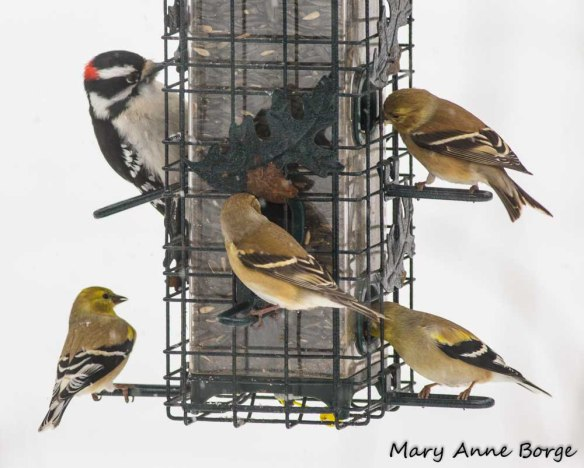 A Downy Woodpecker and Goldfinches sharing a meal