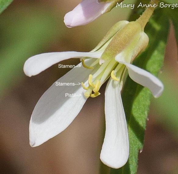 Cut-leaved Toothwort (Cardamine concatenata)