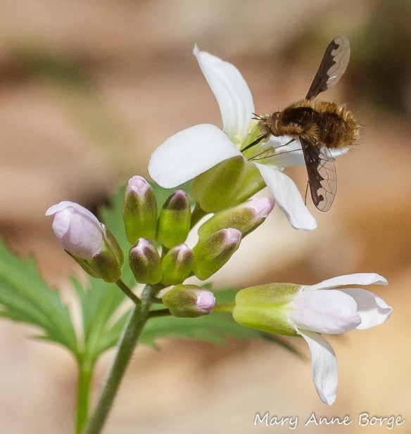 Cut-leaved Toothwort (Cardamine concatenata)  with bee-fly (Bombylius major)