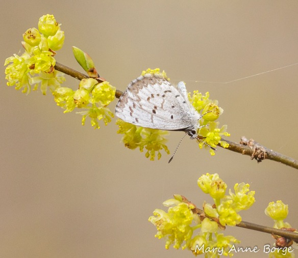 Spicebush (Lindera benzoin) with nectaring Spring Azure