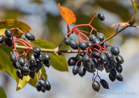 Blackhaw Viburnum (Viburnum prunifolium) fruit