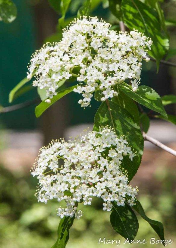 Blackhaw Viburnum (Viburnum prunifolium)