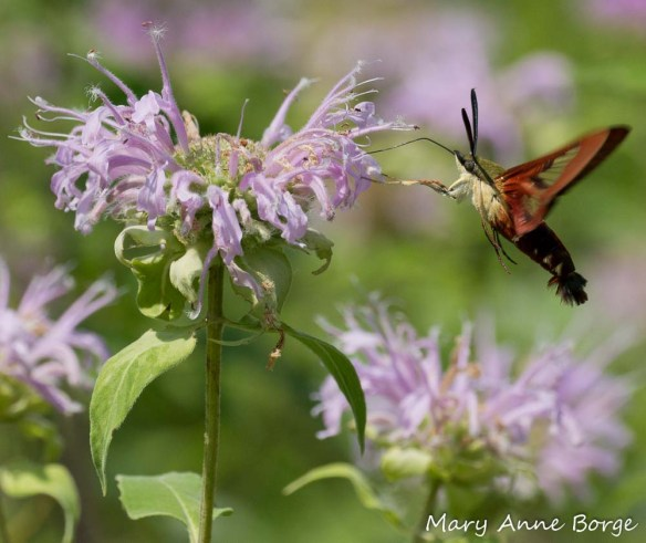 Hummingbird Clearwing nectaring on Wild Bergamot (Monarda fistulosa)