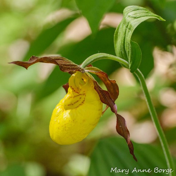 Yellow Lady's Slipper (Cypripedium parviflorum)  Note the maroon striping inside the 'slipper'.