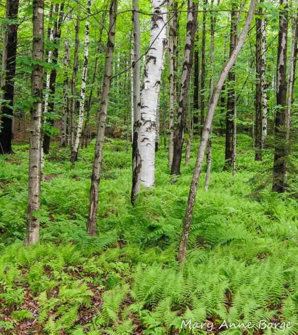 The woods from Fox Track trail at the Trapp Family Lodge