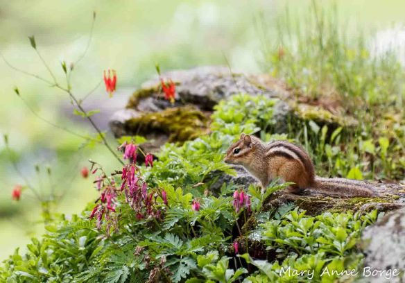 Eastern Chipmunk with Wild Columbine (Aquilegia canadensis) and Wild Bleeding Heart (Dicentra eximia)