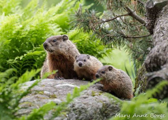 Groundhog family in the garden at Trapps