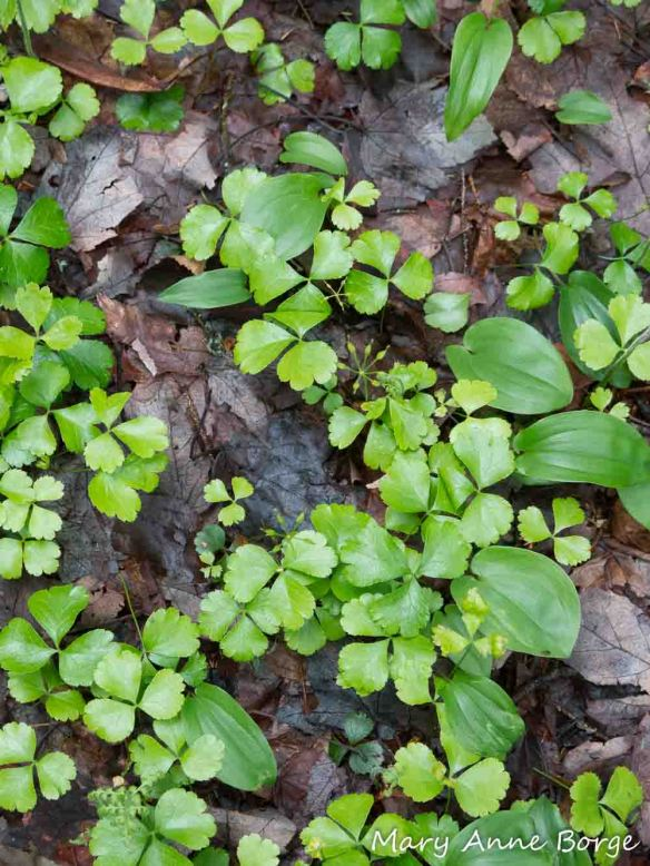 Goldthread (Coptis trifolia) with Canada Mayflower (Maianthemum canadense) leaves