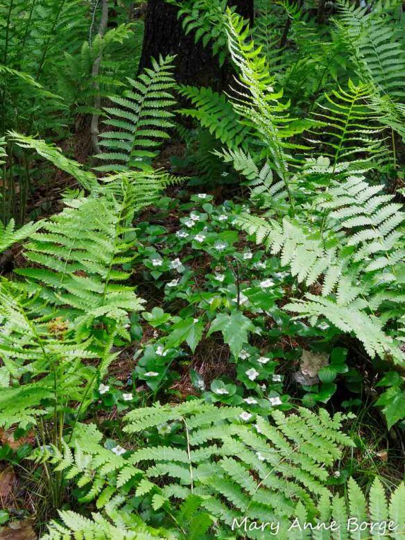 Bunchberry (Cornus canadensis) at Wiessner Woods