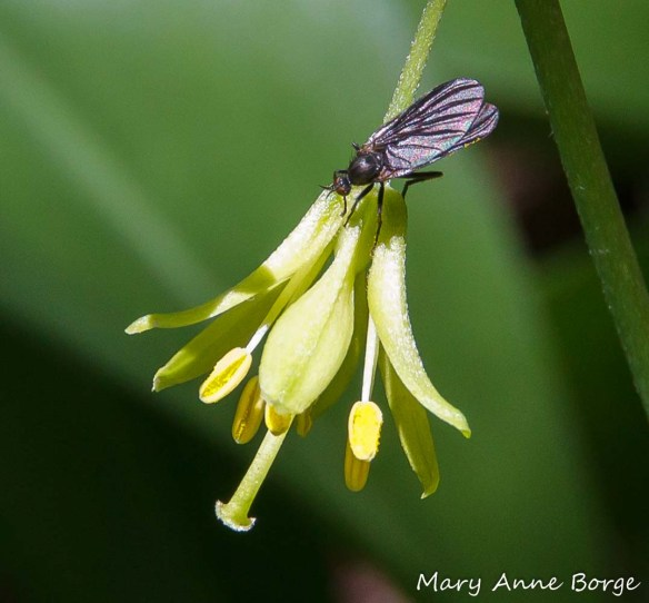 Bluebead Lily (Clintonia borealis) with flower visitor
