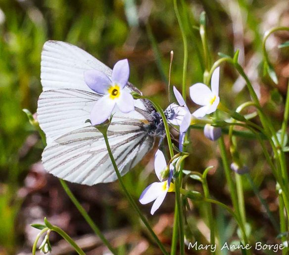 Bluets (Houstonia caerulea) with Mustard White butterfly