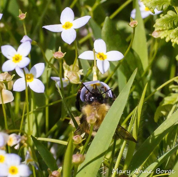 Bluets (Houstonia caerulea) with Bumble Bee