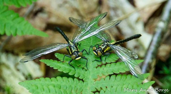 Southern Pygmy Clubtail dragonflies