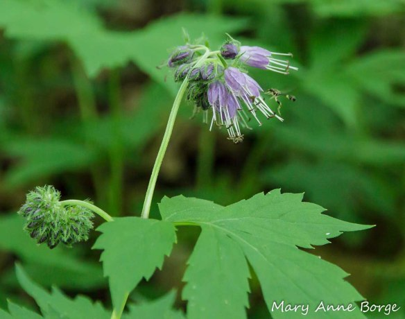 Virginia Waterleaf (Hydrophylum virginianum)