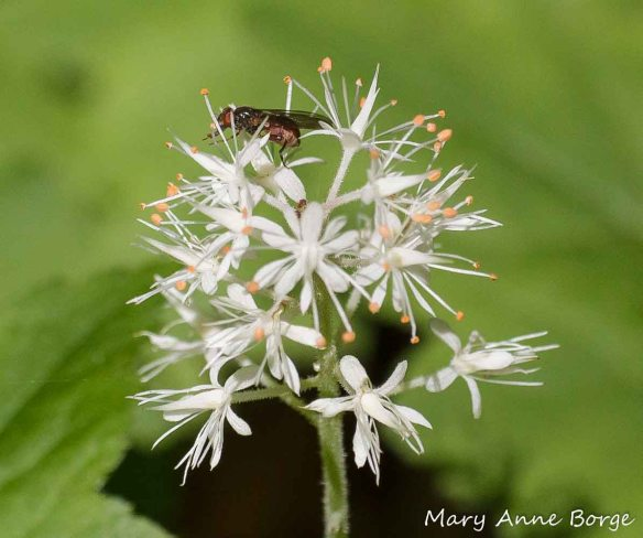 Fly harvesting pollen from Foamflower (Tiarella cordifolia)