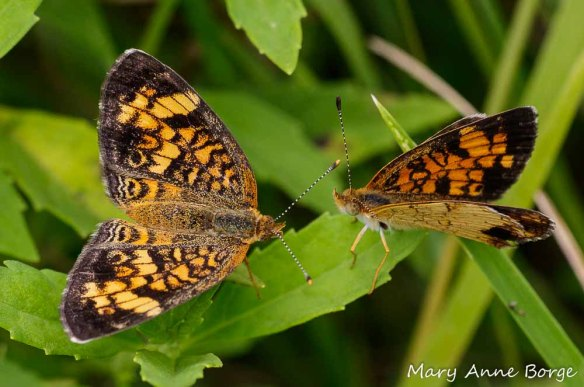 "Pearl Crescent female (left) to male (right), ""I'm not ready to commit yet!  I'm still shopping around to see if I can do better."""