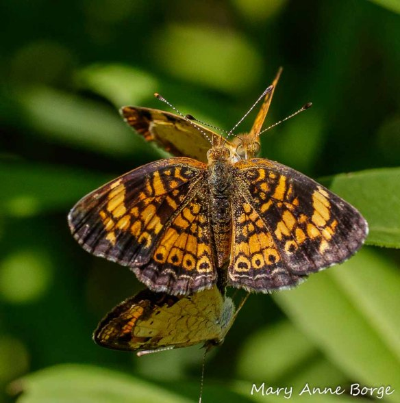 Pearl Crescent female mating with one male while another continues to plead his case