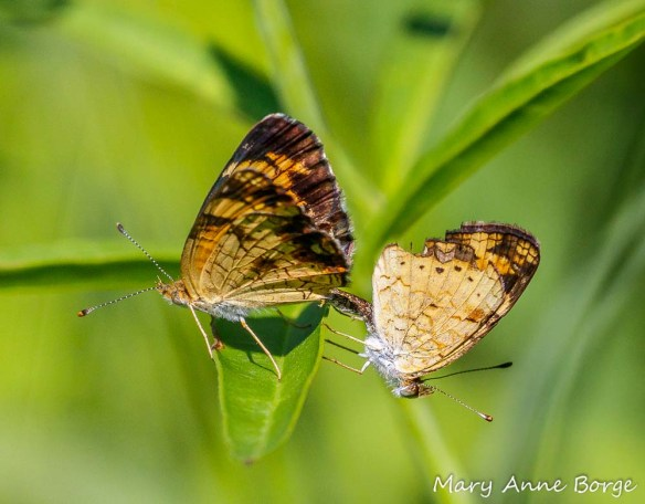 Mating Pearl Crescent butterflies