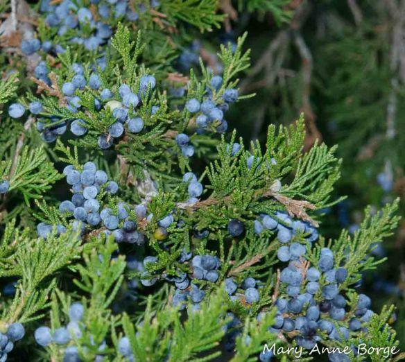 Eastern Red Cedar (Juniperus virginiana) cones