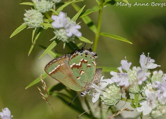 Juniper Hairstreak nectaring on Narrow-leaved Mountain Mint (Pycnanthemum tenuifolium)