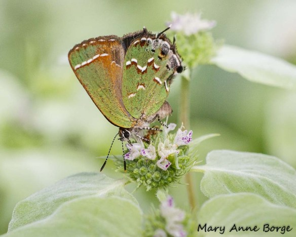 Juniper Hairstreak nectaring on Short-toothed Mountain Mint (Pycnanthemum muticum)