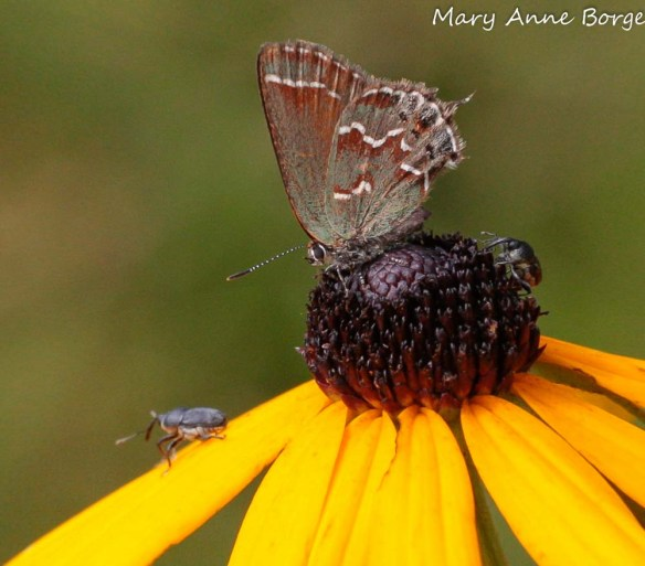 Juniper Hairstreak nectaring on Eastern Coneflower (Rudbeckia fulgida)